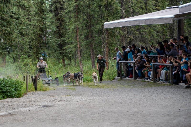 DENALI, ALASKA: National Park Service leśniczowie dają sanie psa demonstracji zdjęcia royalty free