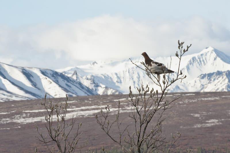 Denali Nationalpark lizenzfreie stockbilder