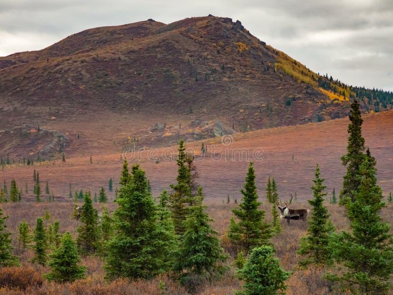 Denali tundra w jesieni z Caribou fotografia stock