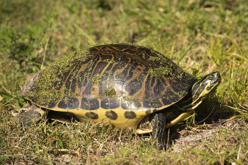 denbuktade cootersköldpaddan på magnolian parkerar i Apopka, Florida arkivfoto