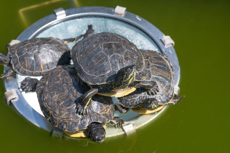 Denbuktade glidaresköldpaddan i en grön vattenlivsmiljö arkivbilder
