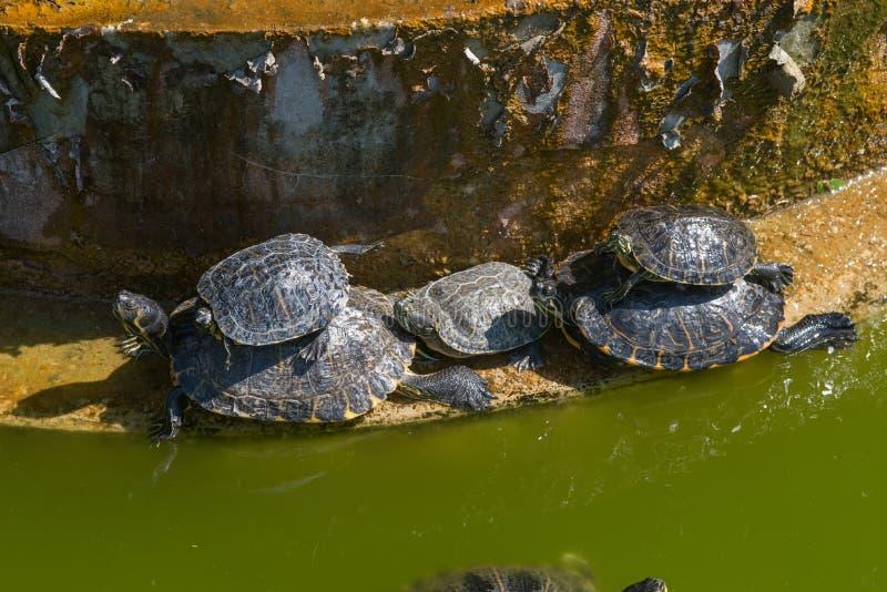 Denbuktade glidaresköldpaddan i en grön vattenlivsmiljö royaltyfri fotografi
