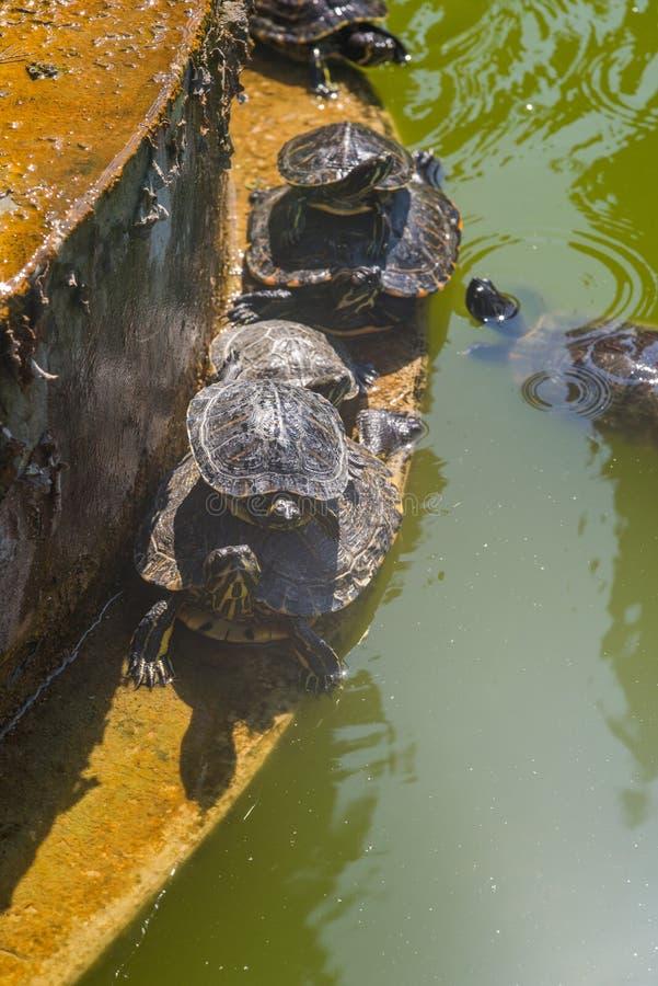 Denbuktade glidaresköldpaddan i en grön vattenlivsmiljö arkivfoton