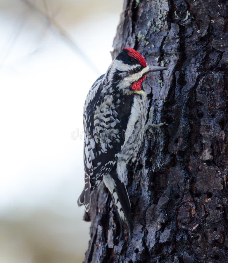 denbuktade sapsuckeren på ett träd som gör som hans namn, innebär royaltyfri foto