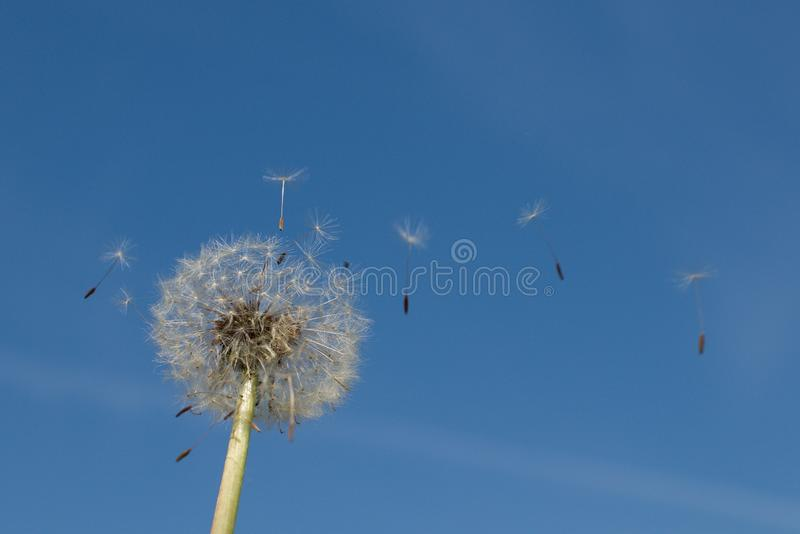 Dendelion flower nature blue sky seed royalty free stock photography