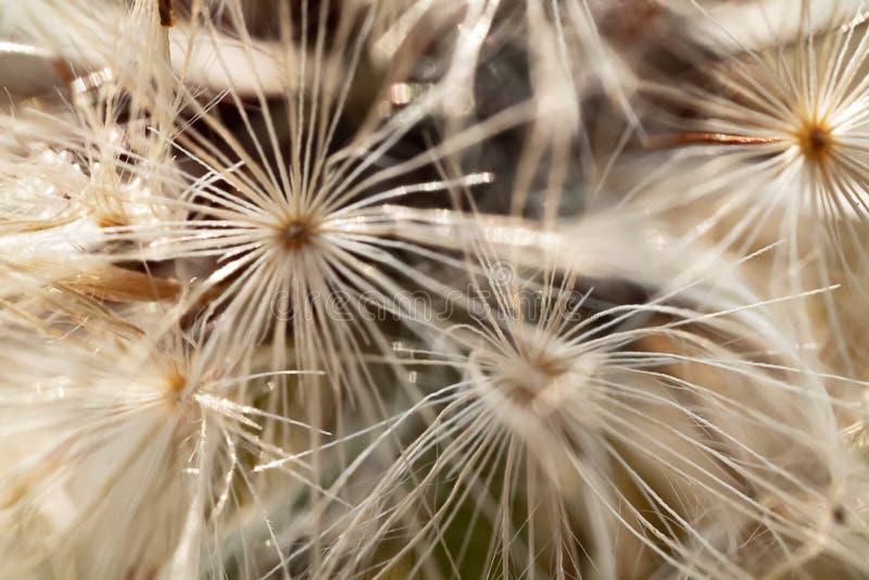 Dendelion seed pattern in black white royalty free stock photos