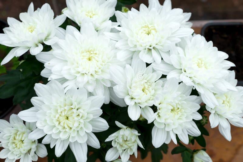 Dendranthemum-grandifflora, weiße Mamablume für Hintergrund stockfotografie