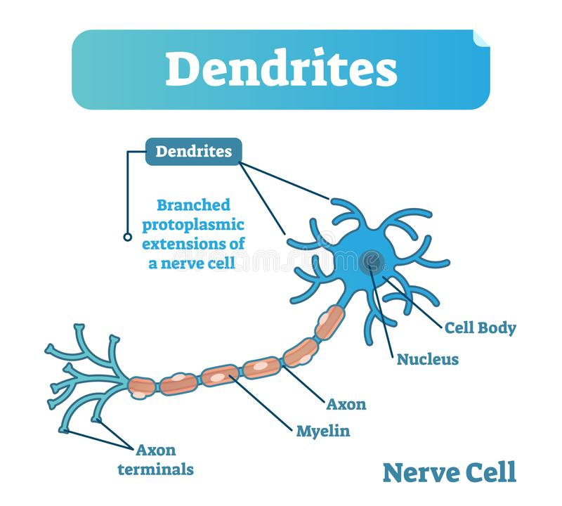 Dendrite biological anatomy vector illustration diagram with nerve cell structure. Health care education poster stock illustration