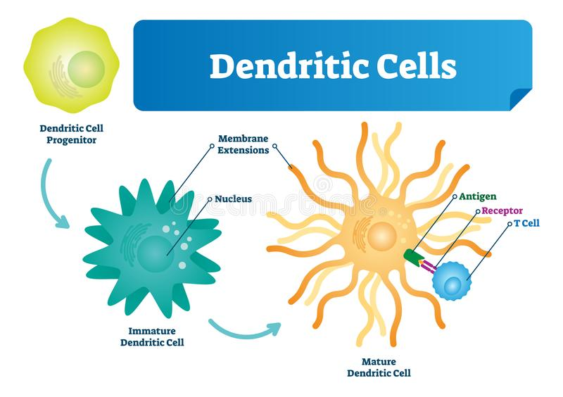 Dendritic cells vector illustration. Anatomical labeled closeup scheme with progenitor, immature, nucleus, antigen and receptor. Dendritic cells vector stock illustration
