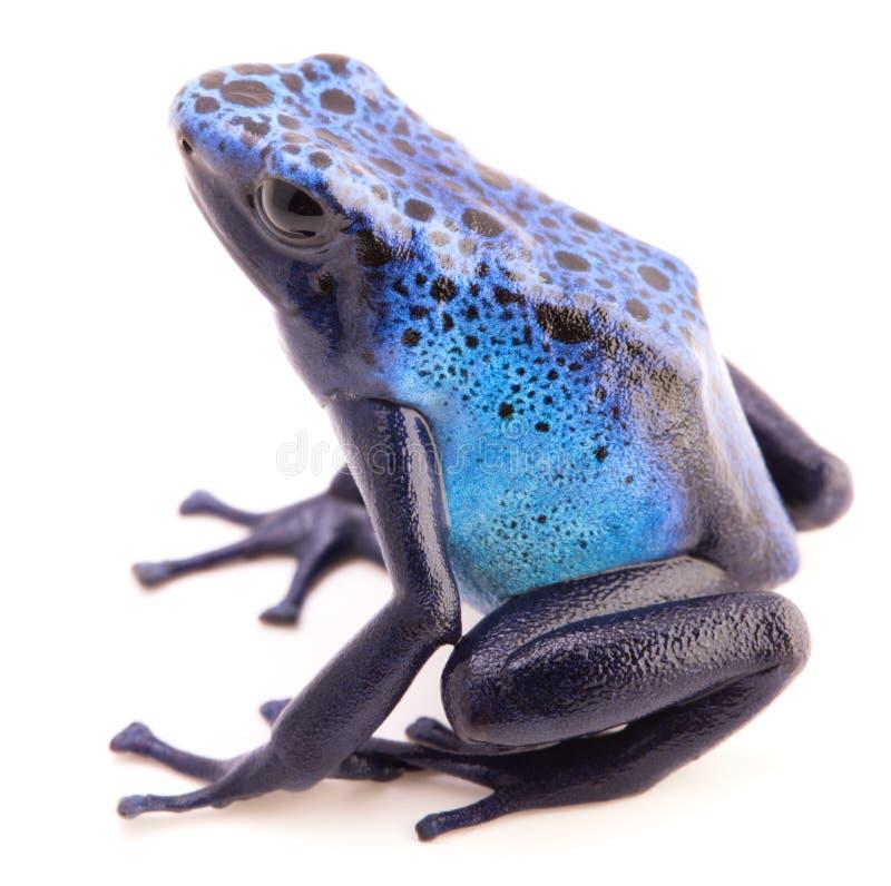 Dendrobates azureus、毒物箭或者箭头青蛙 库存图片