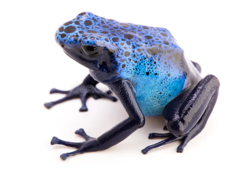 Dendrobates azureus jadu strzałki żaba fotografia stock