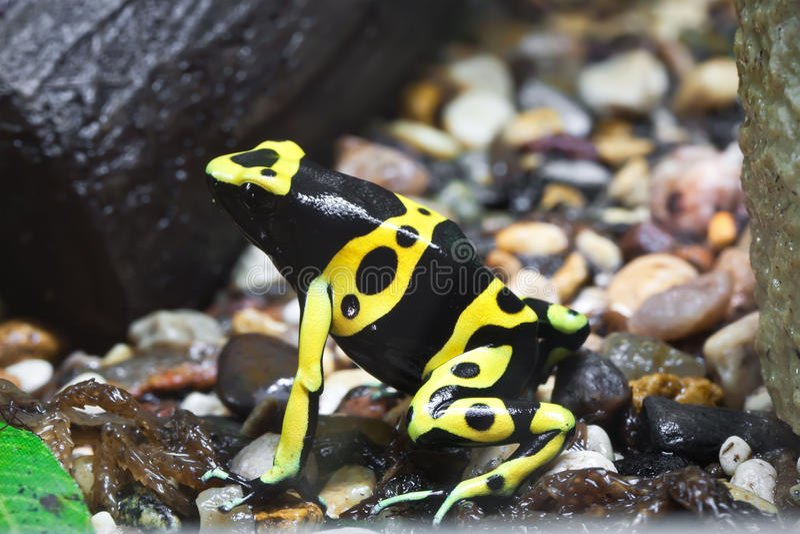 Dendrobates frog royalty free stock photography