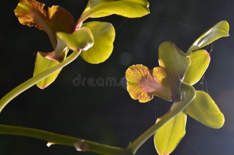 Dendrobium один из родов эпифитных орхидей стоковое фото