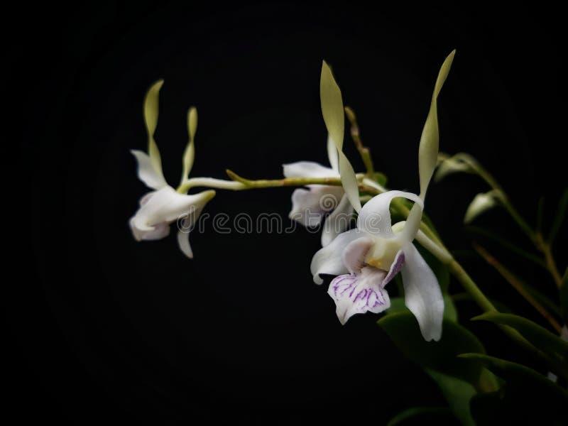 Dendrobium antennatum, allgemein bekannt als die grüne Antilopenorchidee Es wächst in Neu-Guinea und in tropischem Nord-Queenslan stockfotografie