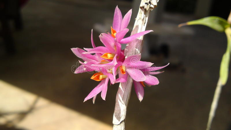 Dendrobium bracteosum. Cirrhopetalum curtisii Pink and small Orchid from Thailand royalty free stock images