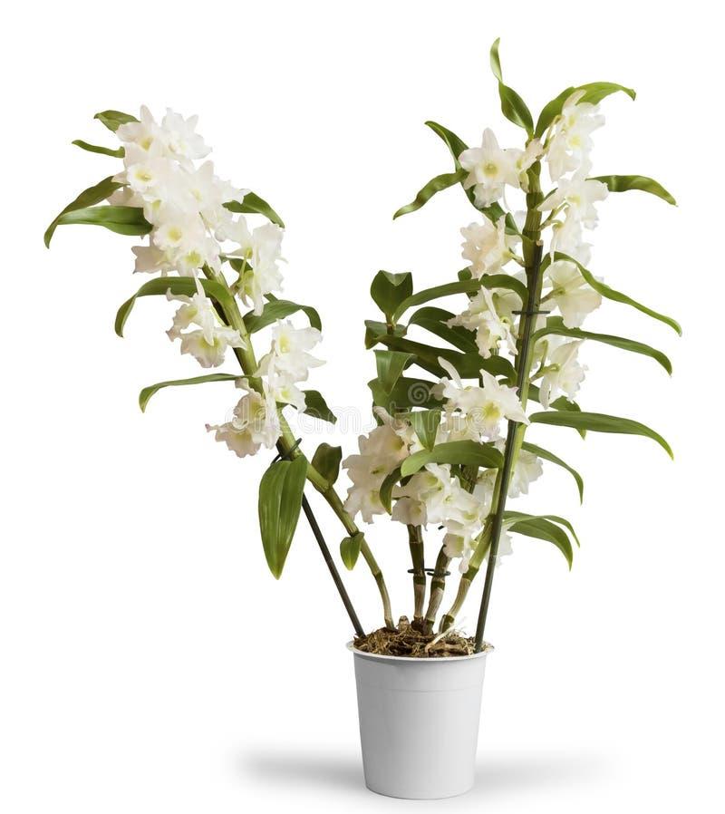 Dendrobium de florescência Nobile da orquídea no potenciômetro, no branco foto de stock