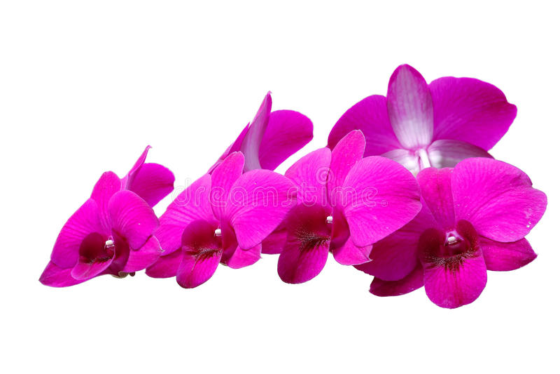 Dendrobium enano de las orquídeas fotos de archivo