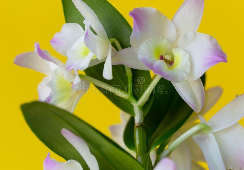 Dendrobium, fleur, orchidée, usine photographie stock