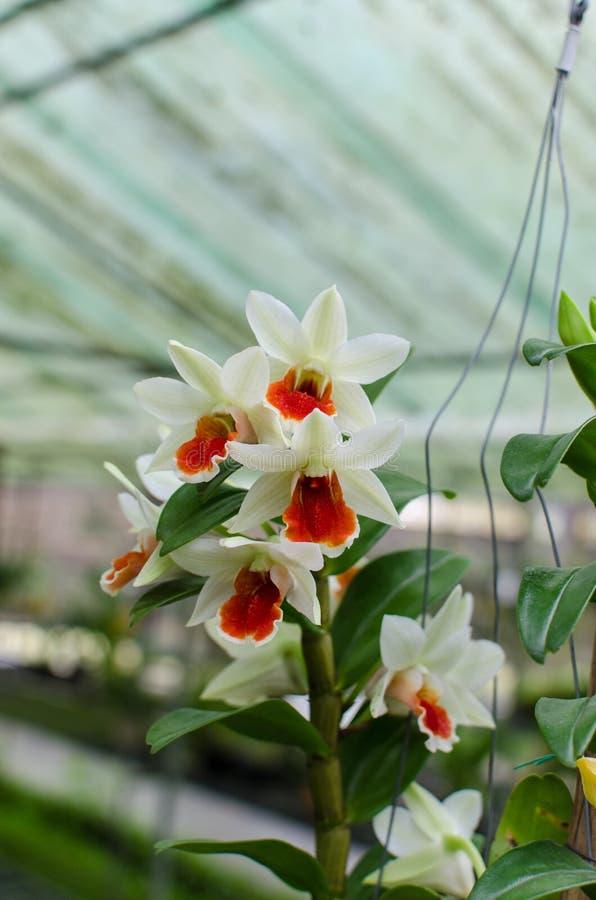 Dendrobium Green Lantern royalty free stock photography
