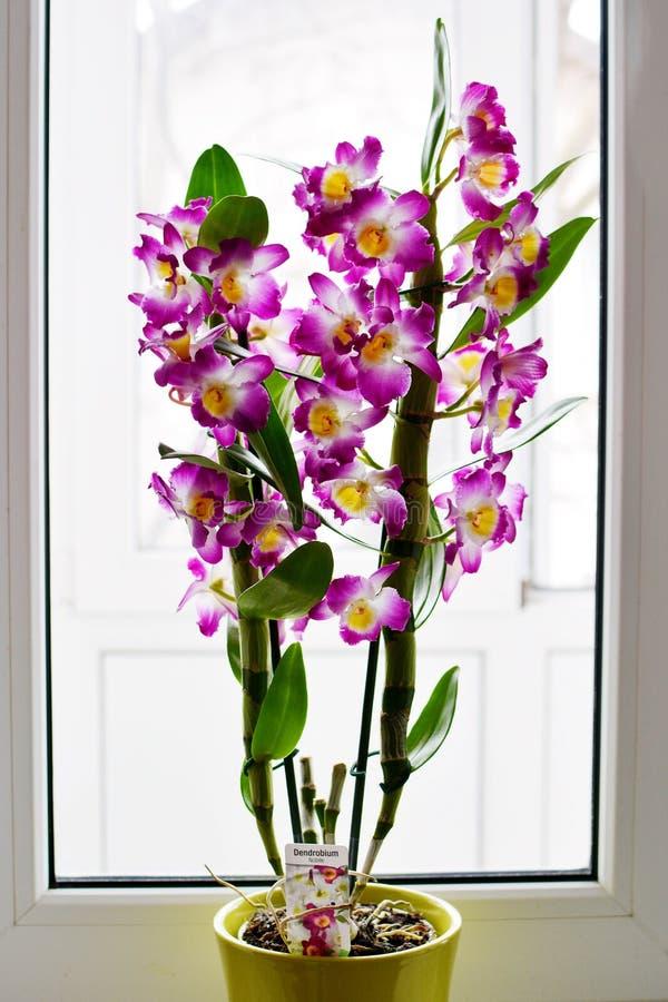Dendrobium Nobile Violet Orchid voor venster stock afbeeldingen