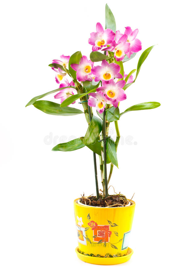 Dendrobium orchid stock photos