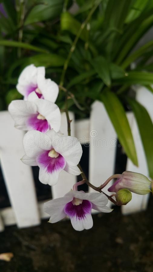 Dendrobium Orchid. stock images