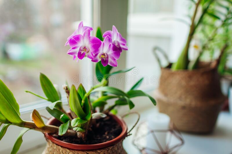 Dendrobium orchid. Home plants growing on window sill. Greenery interior decor with flowers. Dendrobium orchid. Home plants growing on window sill. Greenery royalty free stock images