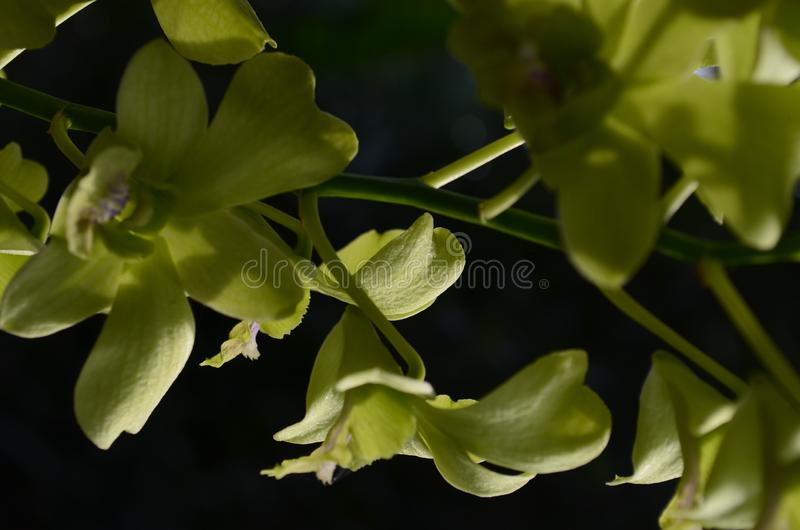 Dendrobium Orchid Yellow Purple Tongue has a yellow flower color combined stock photos