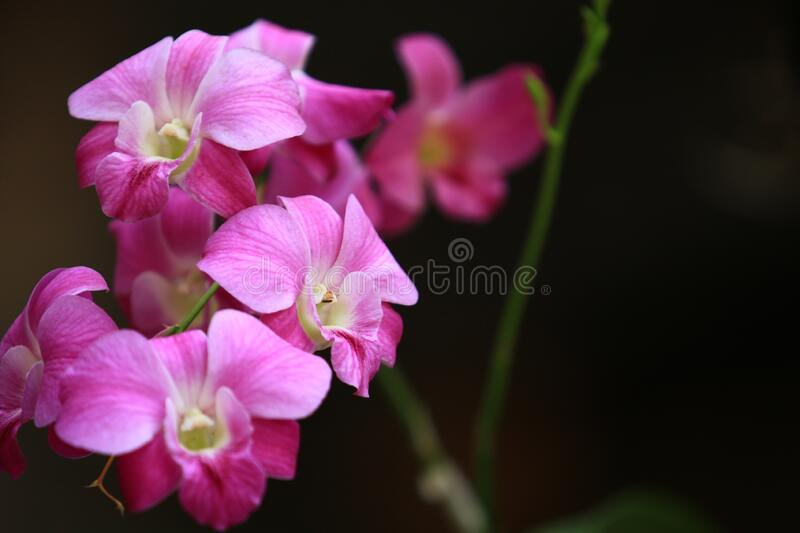 Dendrobium Orchids Plants with pink yellow white color,Group of Orchids Flower and branch with black background.  stock image