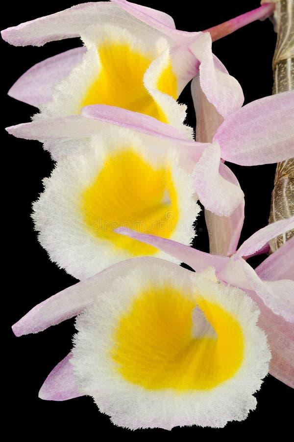 Dendrobium Primulinum Orchid-2 royaltyfri fotografi