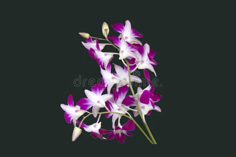 DENDROBIUM PURPLE/WHITE STORCZYKOWY BICOLOR ODOSOBNIONY tło fotografia stock