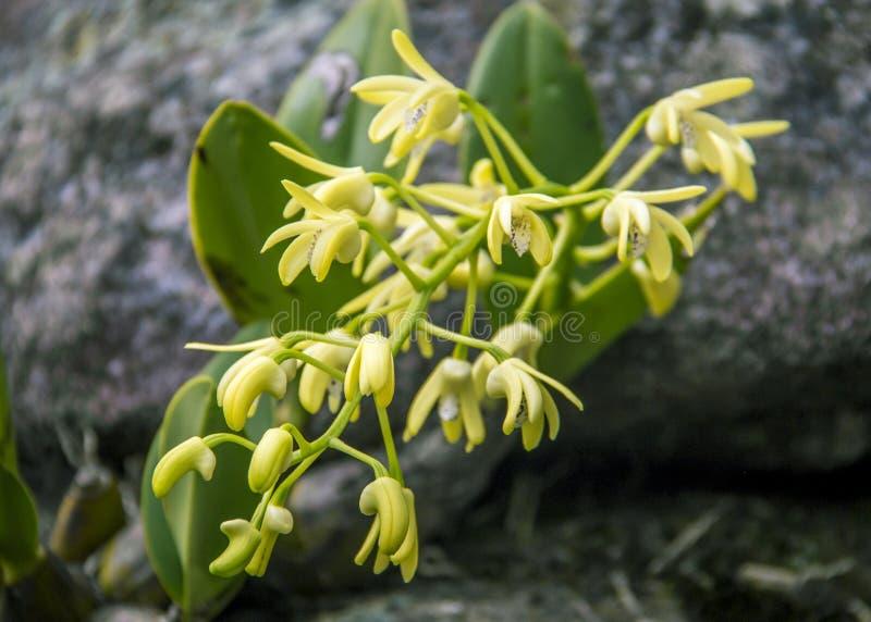 Dendrobium speciosum lizenzfreie stockfotos