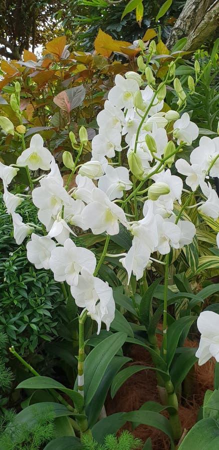 Dendrobium Stephanie s?o?ca Dendrobium Memoria Princess Diana Biali Storczykowi kwiaty w Singapur uprawiaj? ogr?dek zdjęcie royalty free