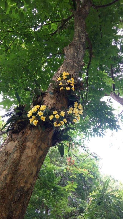 Dendrobiumchrysotoxum royalty-vrije stock foto