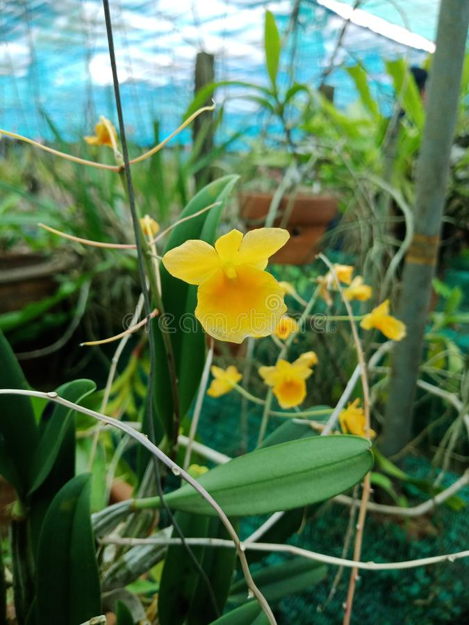 Dendrobiumchrysotoxum, Populaire orchideewoorden royalty-vrije stock foto's
