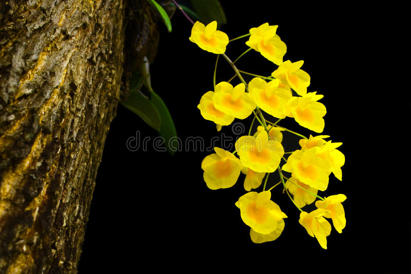 Dendrobiumdixanthum, stekt äggorchid arkivfoton