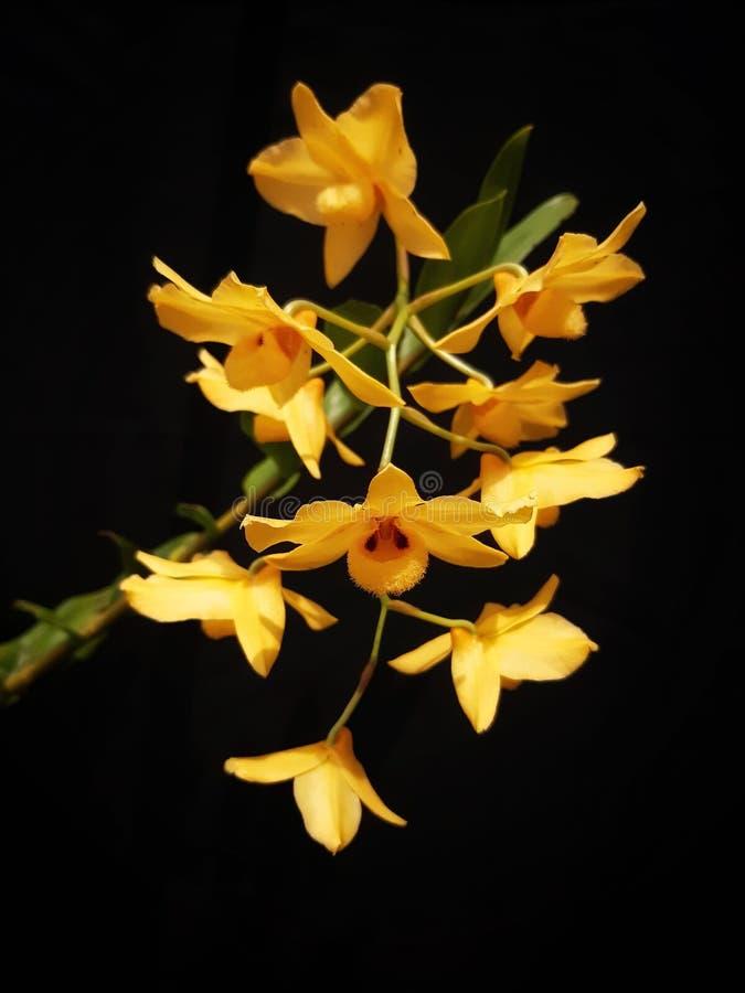 Dendrobiummoschatumen, den musky smelligdendrobiumen, är det infött till himalayasna och Indokina arkivfoto