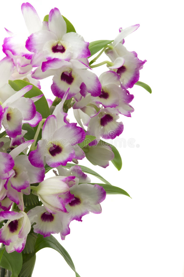 dendrobiumorchid royaltyfri bild