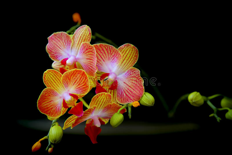 Dendrobiumorchideeën stock foto's