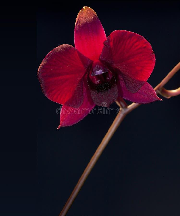 Dendrobiumorchidee stockfotos