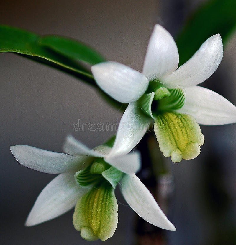 Dendrobiumorchidee royalty-vrije stock foto's