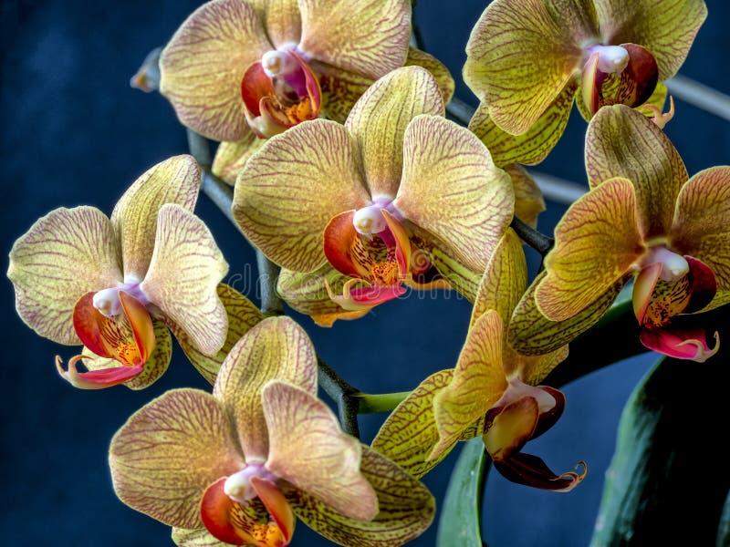 Dendrobiumorchidee in studio-omgeving stock foto