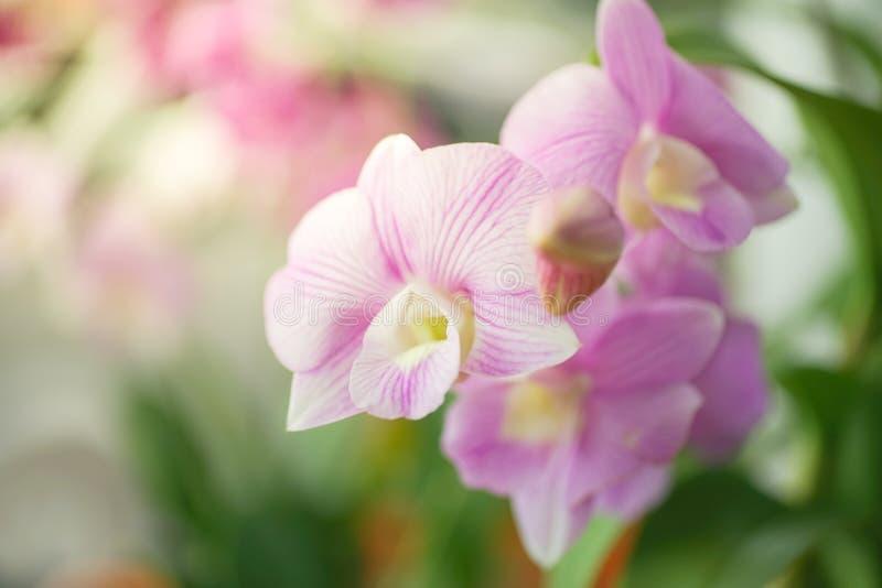Dendrobiumorkidéblomma, i mjuk fokus royaltyfri fotografi