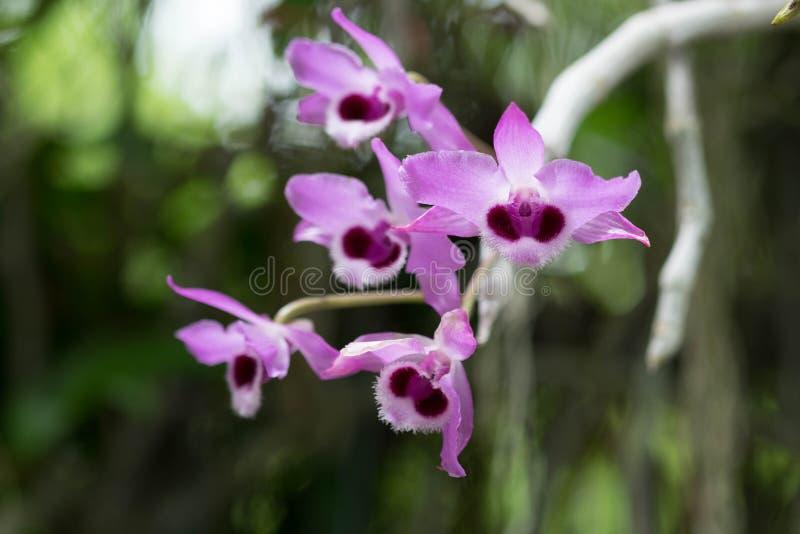 Dendrobiumparishii of Parochie ` s Dendrobium in roze royalty-vrije stock foto