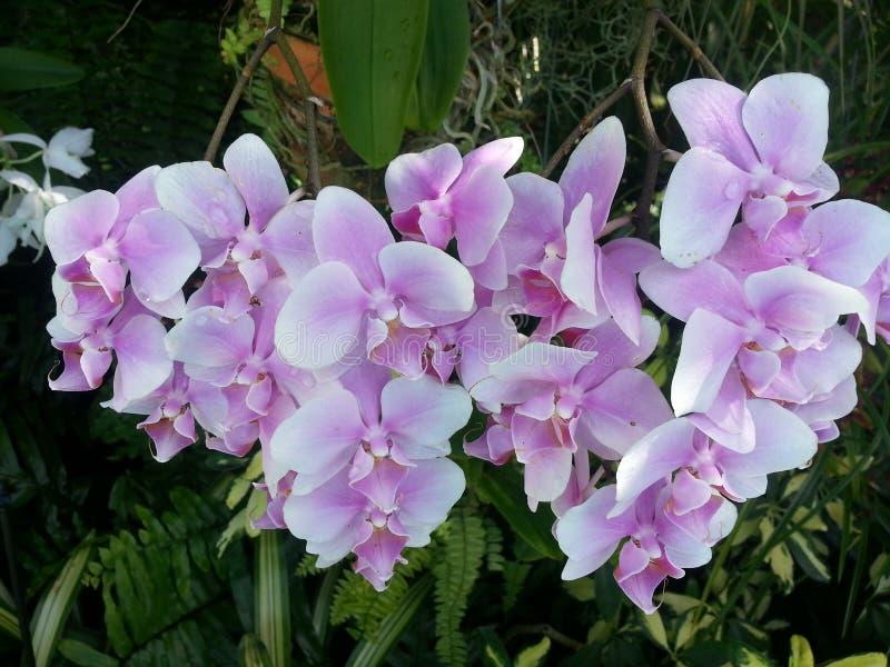 Dendrobiums стоковые изображения