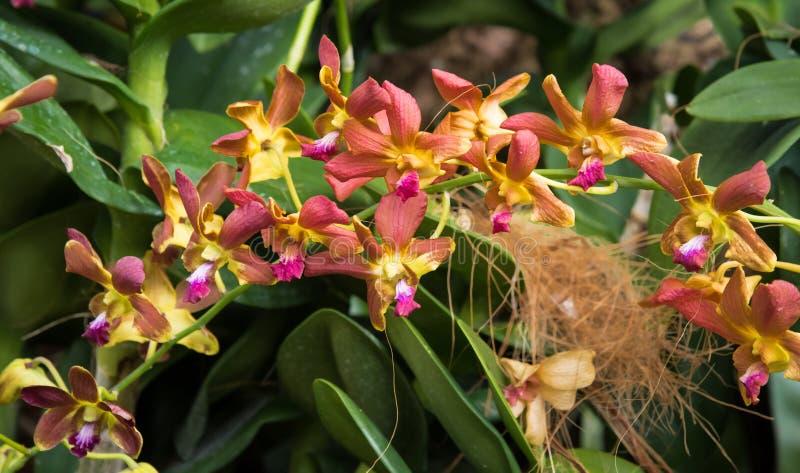Dendrobiumsorkidér i trädgården arkivfoto