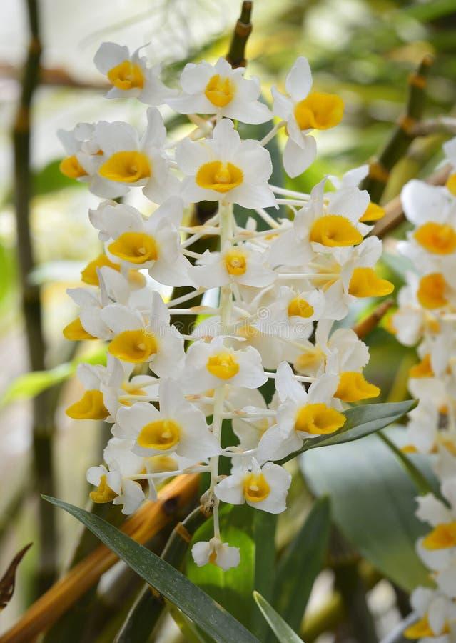 Dendrobiumthyrsiflorum fotografering för bildbyråer