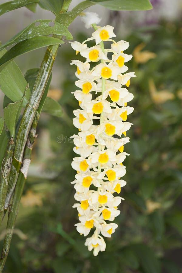 Dendrobiumthyrsiflorum Rchb.f. Artorkidé. arkivbilder