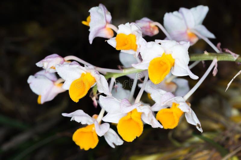Dendrobiumthyrsiflorumorkidér arkivfoto