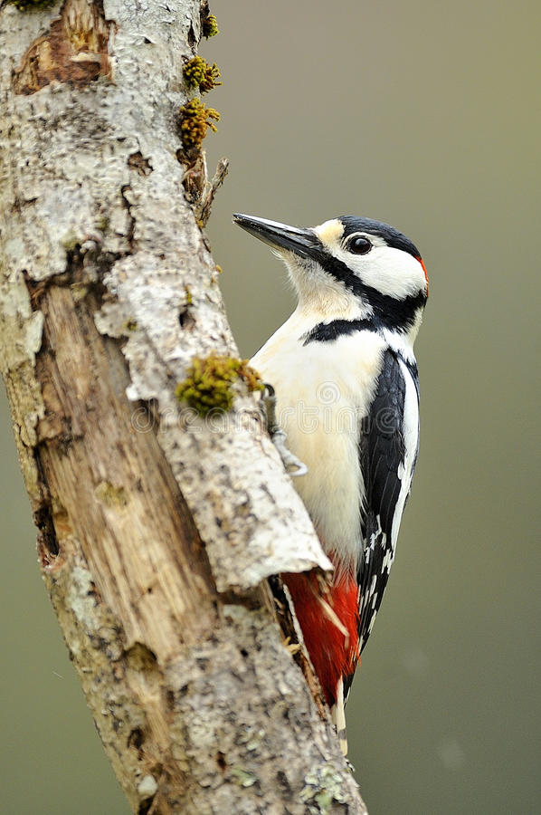 dendrocopos母极大的专业被察觉的啄木鸟 图库摄影